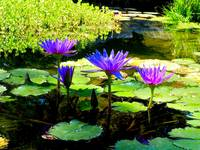 Violet Water Lilies 1