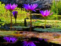 Violet Water Lilies 3