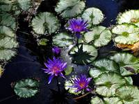 Violet Water Lilies 5