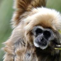 Gibbon Portrait by Laura Mountainspring