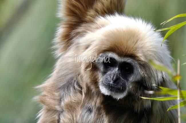 Gibbon Portrait
