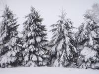 Pines in heavy snow