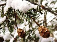 Snow blanketed pine cones
