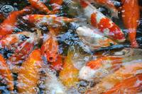 Crowded Fish Pond
