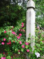 Roses and fence post