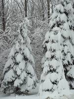 Snow-frosted trees