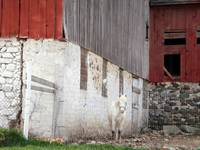 White horse, old red barn