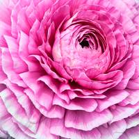 Pink Ranunculus Flower Bloom
