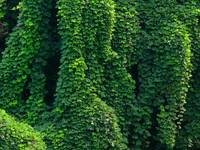 Kudzu Background