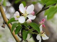 Crabapple Blooms 22, Colorado