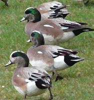 widgeon db