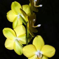 Yellow Orchids by Laura Mountainspring