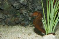 animal fish sea horse 0084