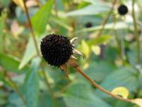 Black-eyed Susan Seed Head