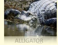Alligator On Bank Art