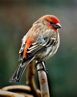 Portrait of a Male House Finch.