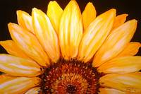 SUNFLOWER SUNRISE 2006