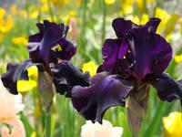 Irises Flowers art Purple Iris Floral
