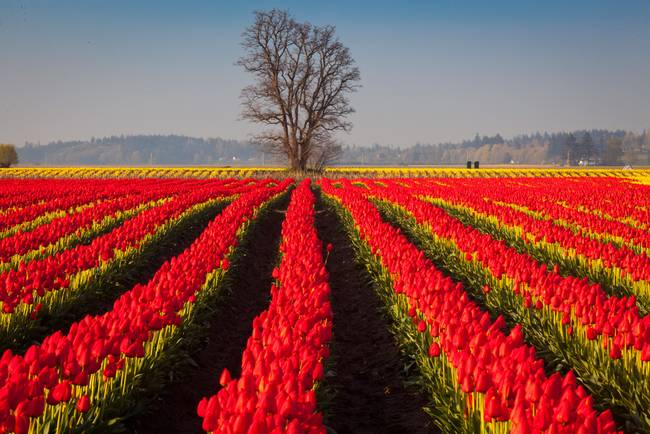 Tulips and Tree
