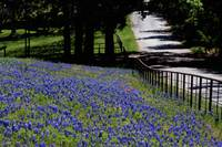 Texas Bluebonnets-1271