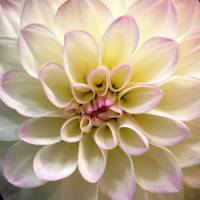 Dahlia Intimately