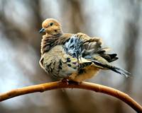 Mourning Dove in the Wind.