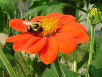 Bee on a Mexican Sunflower
