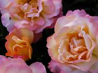 Peach-colored Roses