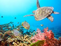 Butterflyfishes and turtle