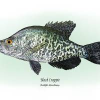 """Black Crappie"" by RalphMartens"
