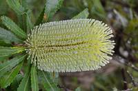 Banksia Integrifolia Flower