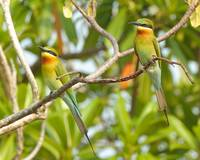 Two BT Bee-eaters