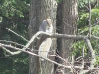 Squirrel balanced in a tree