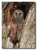 Baby Barred Owl