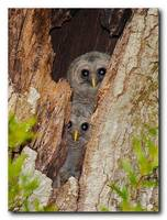 Baby Barred Owls