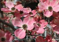 Large Dogwood Blossoms by Carol Groenen