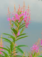 Alpine Flora - Rosebay Willowherb