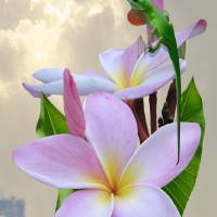 Pink Frangipani and Green Lizard by I.M. Spadecaller