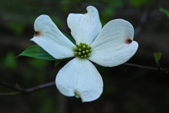 Late Day Dogwood