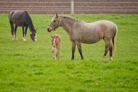 Mares and foals-05500