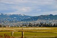 SnowGeese In Flight and Mountains