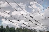 Birds on the Telephone Lines