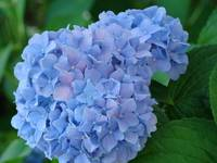 Blue Purple Hydrangea Flowers Blooming