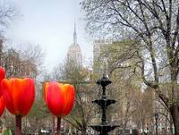 Red Tulips in Manhattan 1