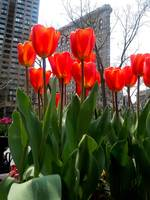 Red Tulips In Manhattan 3