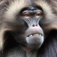 Gelada Baboon Art Prints & Posters by karmaphotos