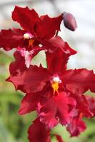Red Oncidiums