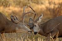 Fighting Mule Deer