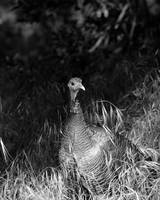 B&W Turkey