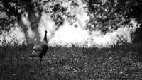 B&W Turkey II